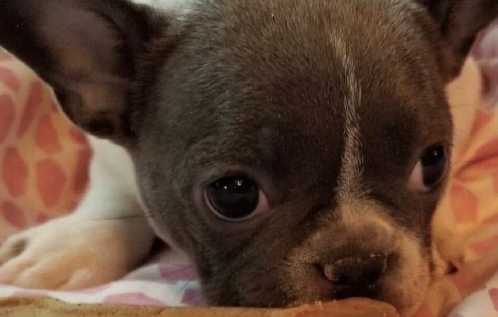 Это надо слышать: щенок по кличке Пенелопа научился мяукать