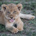 «Семейство» лабрадоров приютило брошенного львенка